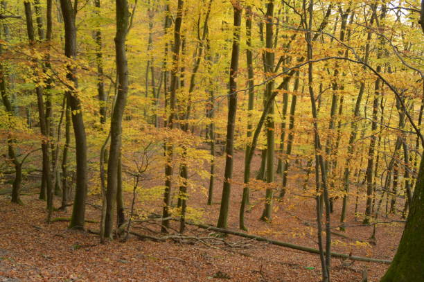 hösten färgade träd i skogen - bernkastel kues höst bildbanksfoton och bilder