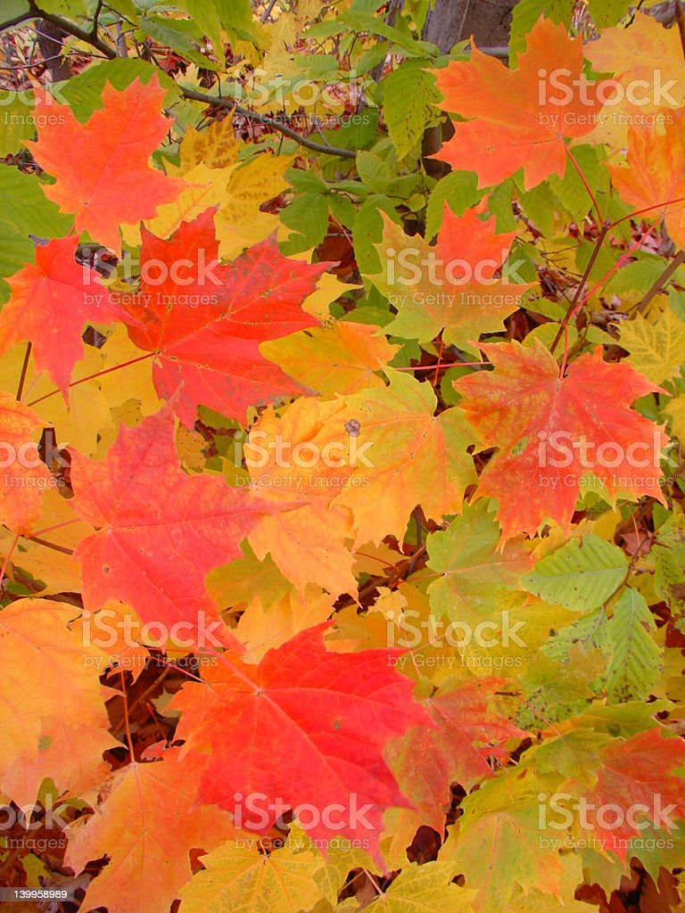 autumn colorful canadian maple leafs royalty-free stock photo
