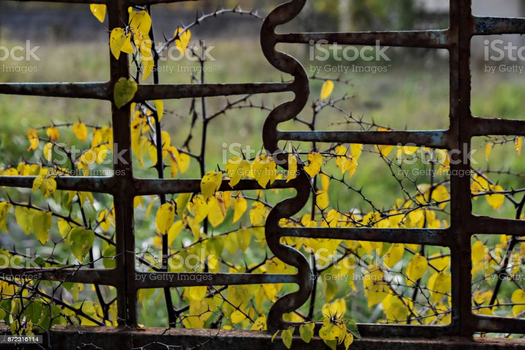 Autumn colorful leaves behind iron fence stock photo