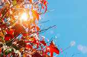 Autumn colorful red maple leaf and tree of Thailand garden from under the sun light through the red fall maple foliage on blue sky background. - Image