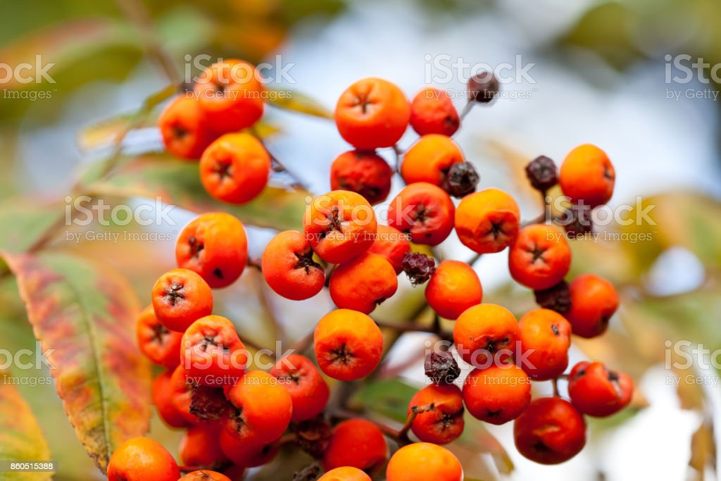 Autumn colors concept. Bright colorful mountain ash rowan berries. Soft focus blurred background photography stock photo