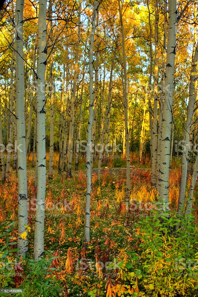 Autumn colors in aspen forest in the Yukon, Canada stock photo