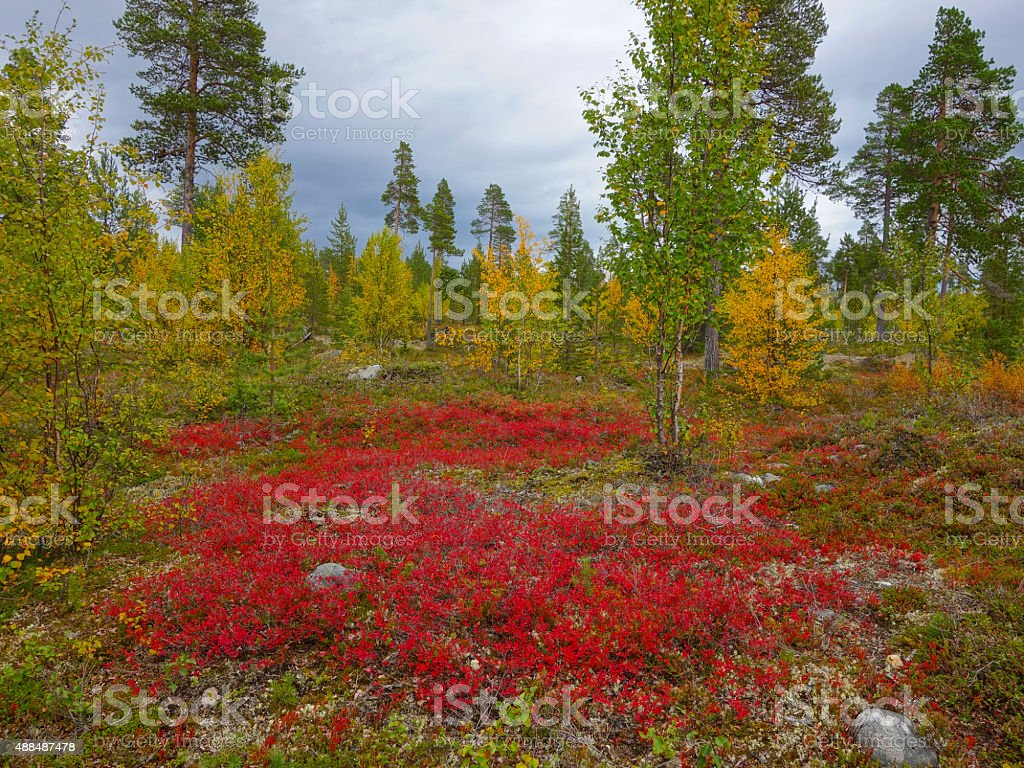 autumn colors in the finnish taiga stock photo