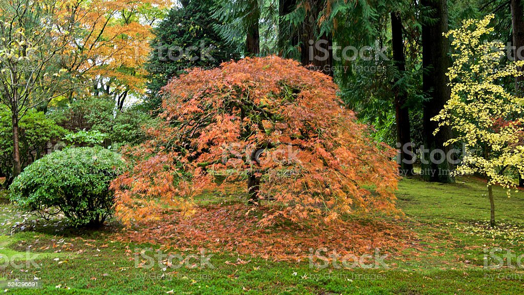 A Fall day looking into colorful trees featuring a Japanese Maple...