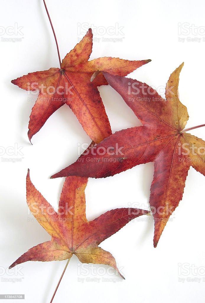 Autumn Colors: Maple Leaf on White stock photo
