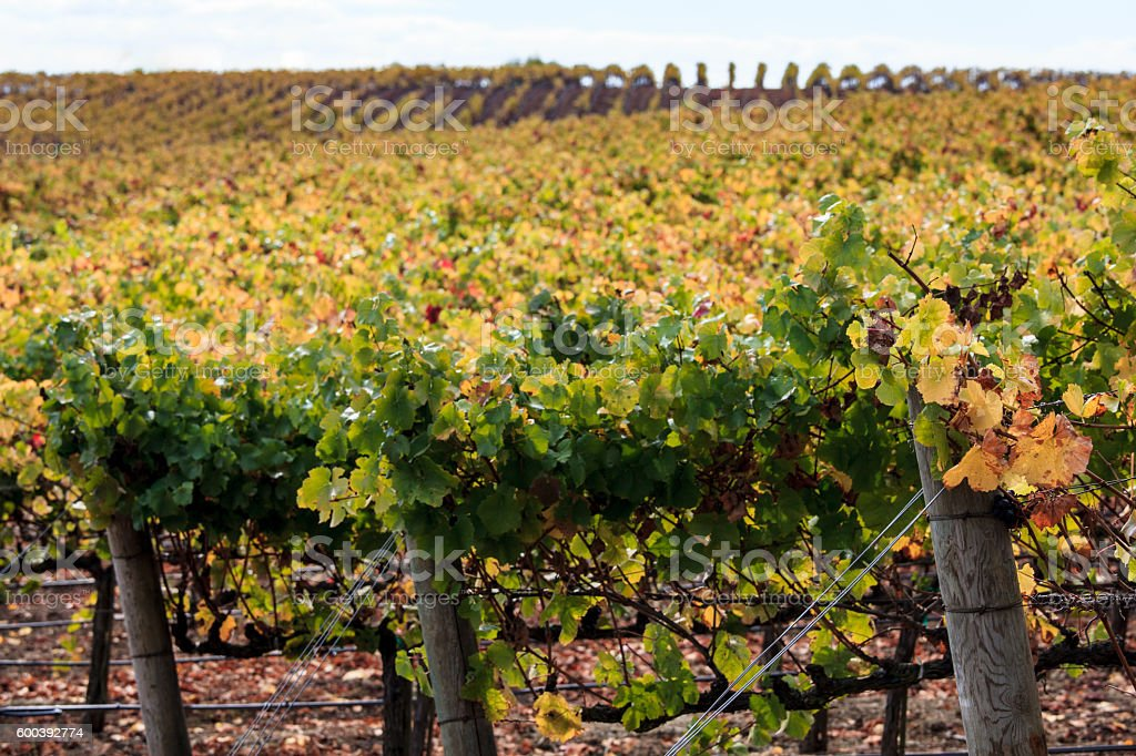 Autumn colors of a Napa California vineyard at harvest stock photo
