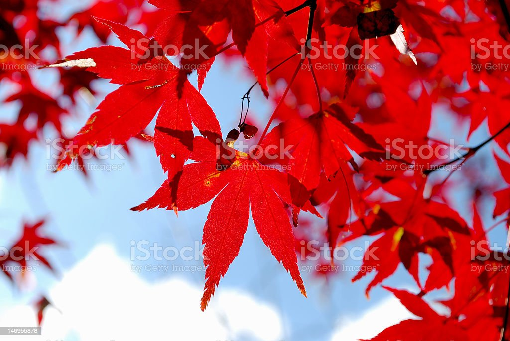 Autumn colors of Japanese Maple royalty-free stock photo