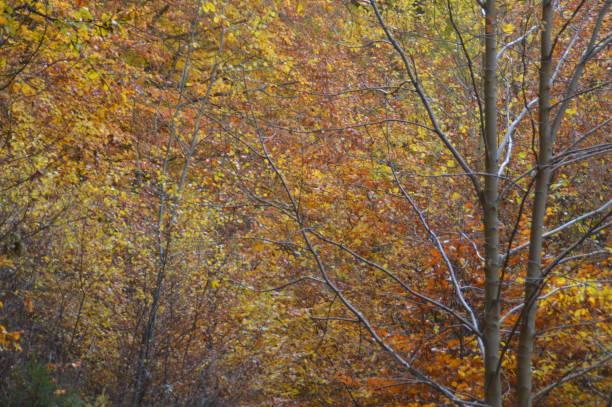 höstfärger i skogen - bernkastel kues höst bildbanksfoton och bilder