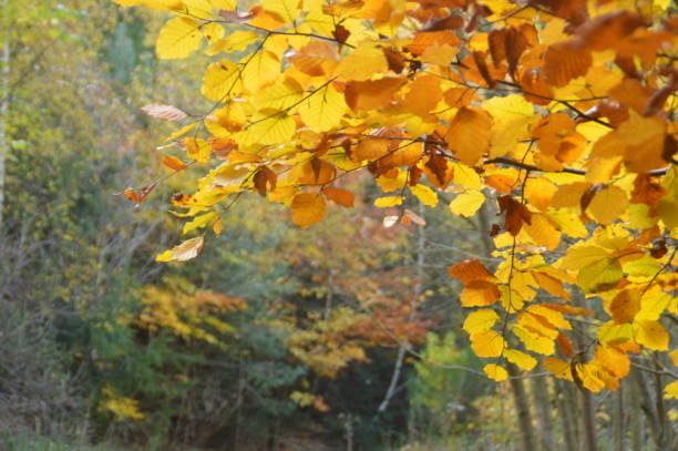 höstfärger i skogen träden - bernkastel kues höst bildbanksfoton och bilder