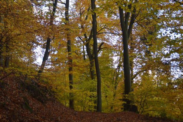 höstfärger på träden i skogen - bernkastel kues höst bildbanksfoton och bilder