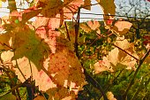 Autumn colors of vineyards. Colorful autumn leaves. Autumn vineyards at sunrise