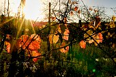 Autumn colors of vineyards. Colorful autumn leaves. Autumn vineyards at sunrise. Close-up