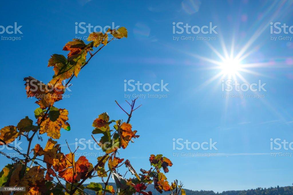 Autumn colors vine leaf vines with sunbeams in back lit