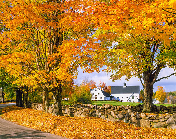 Autumn colors with farm in the White Mountains, NH A row of sugar maplew in full autumn color with a stone wall fence fills the foreground leading back to dual white barns in the hillsides of the White Mountains, New Hampshire white mountains new hampshire stock pictures, royalty-free photos & images