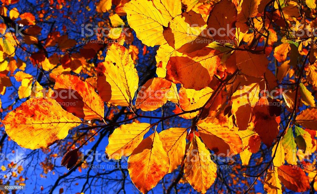 Autumn Colour of Beech Leaves zbiór zdjęć royalty-free