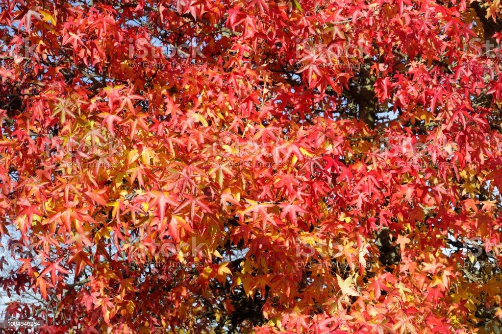 Autumn colour red sweetgum Liquidambar styraciflua leaves stock photo