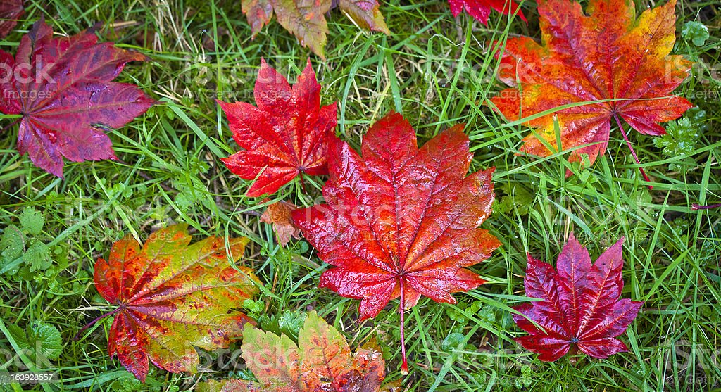 Autumn colours, Acer leaves and forest floor royalty-free stock photo