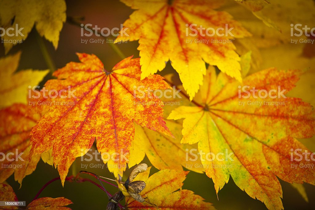 Autumn colours, Acer leaves royalty-free stock photo