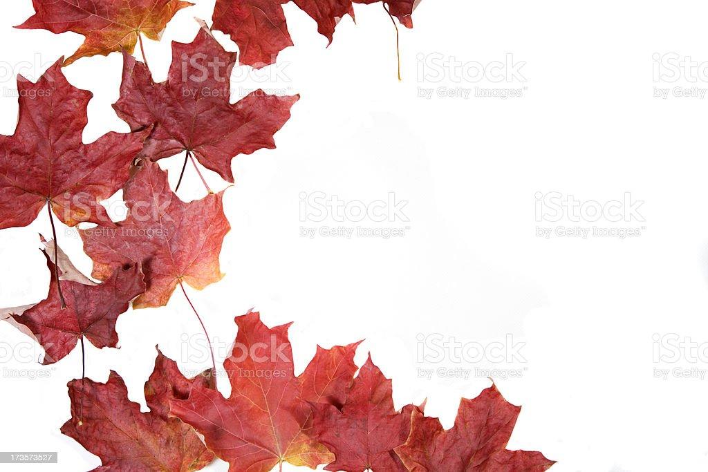 Autumn Colours - Maple Leaf stock photo