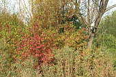 Autumn colours of nature. Taken on a cold but sunny late September morning in south Derbyshire in the UK.