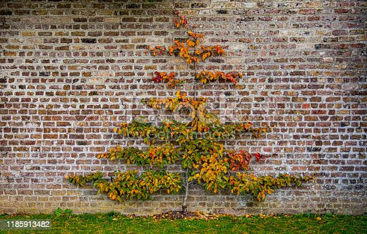 autumn colours on a tree growing in a walled garden