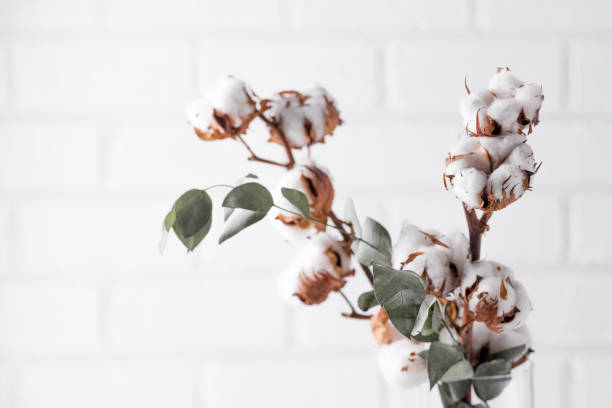 Autumn composition. Dried white fluffy cotton flowers on white wood wall with copy space. Floral composition stock photo