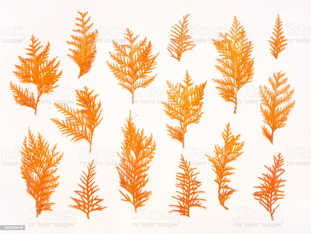 Autumn composition. Pattern made of autumn twigs of thuja on a white background. Flat lay, top view stock photo