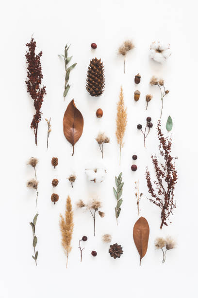 Autumn composition. Pattern made of eucalyptus branches, cotton flowers, dried leaves on white background. Autumn, fall concept. Flat lay, top view Autumn composition. Pattern made of eucalyptus branches, cotton flowers, dried leaves on white background. Autumn, fall concept. Flat lay, top view dried plant stock pictures, royalty-free photos & images