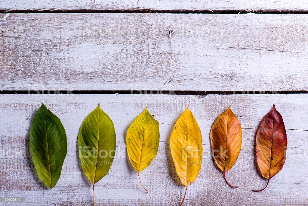 Autumn composition. Various colorful leaves. Studio shot, wooden stock photo