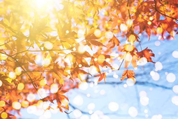 composition d'automne avec les érables japonais et le ciel. - couleur des végétaux photos et images de collection