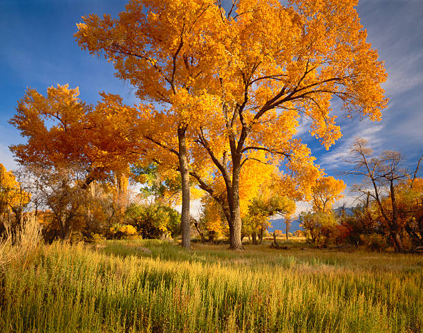 Autumn Cottonwood Trees Brilliant Colors Of Autumn Cottonwood Trees Line The Owens Valley At Bishop California cottonwood tree stock pictures, royalty-free photos & images