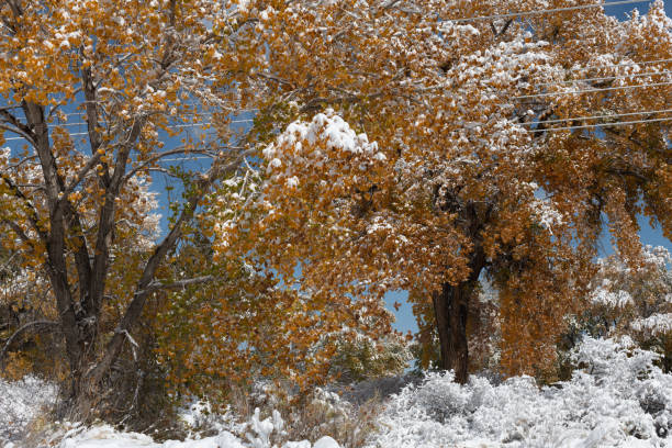 Autumn cottonwoods after a Snow Storm stock photo