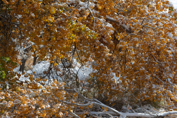 Autumn Cottonwoods with Snow stock photo