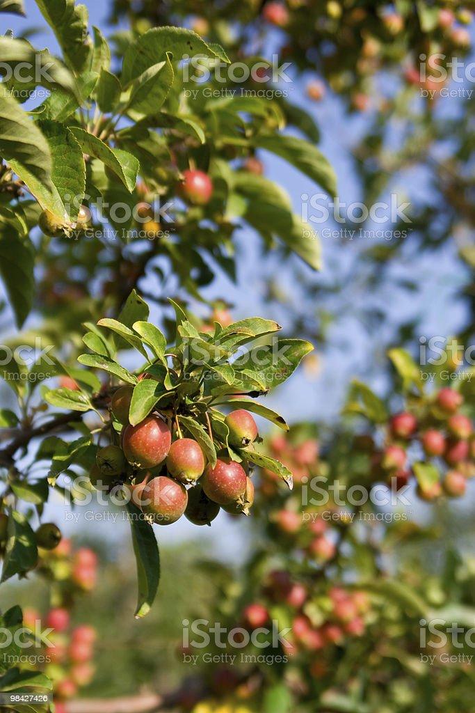Autumn Crab Apples royalty-free stock photo