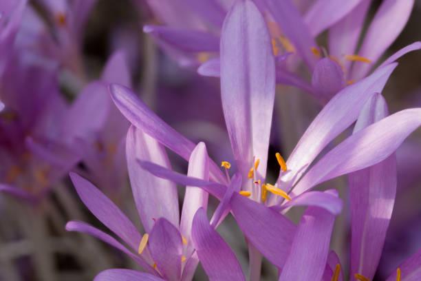 Herbstzeitlose Blüte – Foto