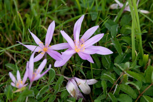 autumn crocus - Colchicum autumnale plant in meadow stock photo