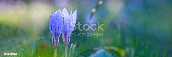 901386728 istock photo Autumn crocus, meadow suffron. 1199506532