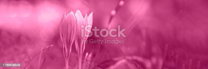 901386728 istock photo Autumn crocus, meadow suffron. 1199506545