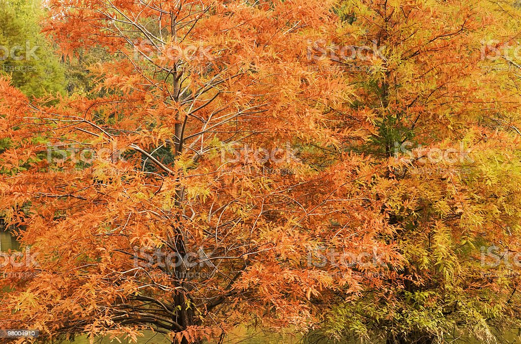 Autumn Cypress Tree Background royalty-free stock photo