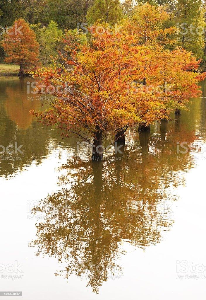 Outono cipreste reflexo foto royalty-free