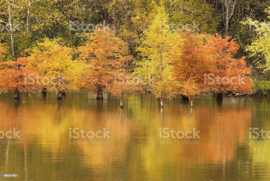 Autumn Cypress Trees Reflection royalty-free stock photo