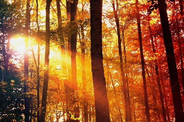 Forêt à feuilles caduques d'automne éclairée par le soleil. Paysage de la forêt rouge, orange, jaune et noir avec les chênes et les hêtres - Photo