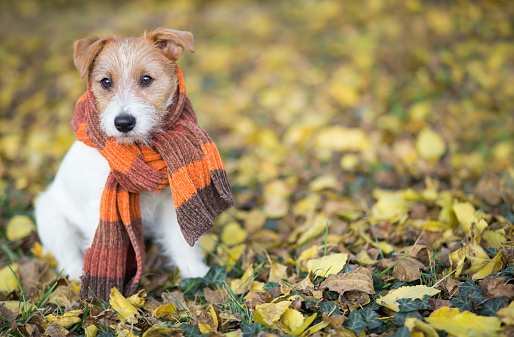 Autumn dog, cute pet puppy with scarf sitting in the colorful leaves