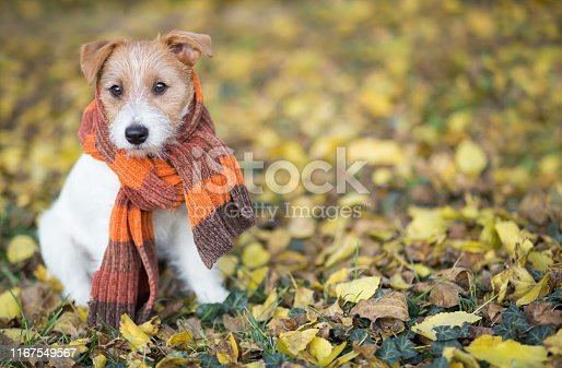 istock Autumn dog, cute pet puppy sitting in the leaves 1167549567