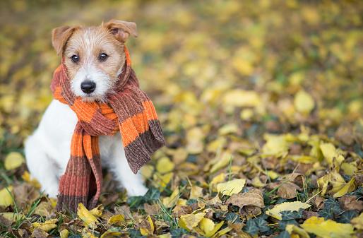 Autumn Dog Cute Pet Puppy Sitting In The Leaves — стоковые фотографии и другие картинки Осень - iStock