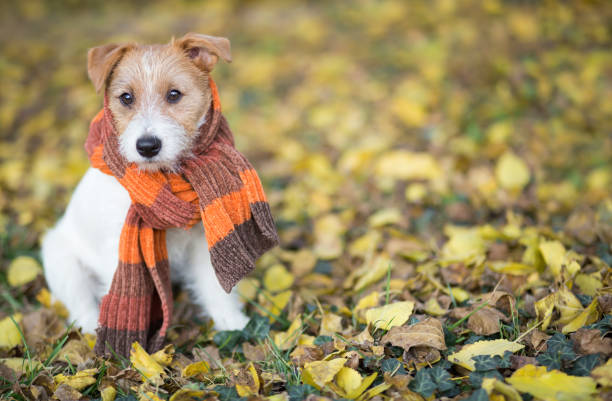 autumn dog, cute pet puppy sitting in the leaves - cachecol imagens e fotografias de stock