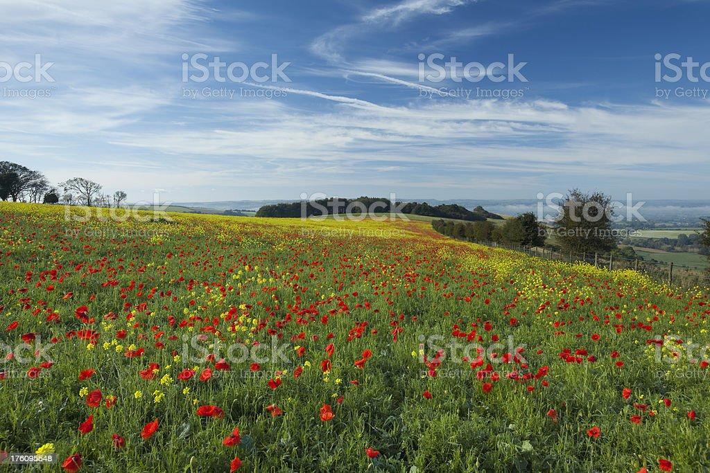 Autumn Dorset poppyfield stock photo