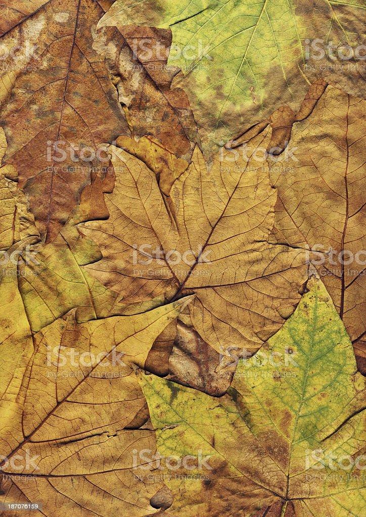 Autumn Dry Fallen Yellow Maple Leaves royalty-free stock photo