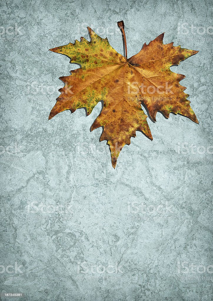 Autumn Dry Maple Leaf Isolated on Blue Parchment Backdrop royalty-free stock photo
