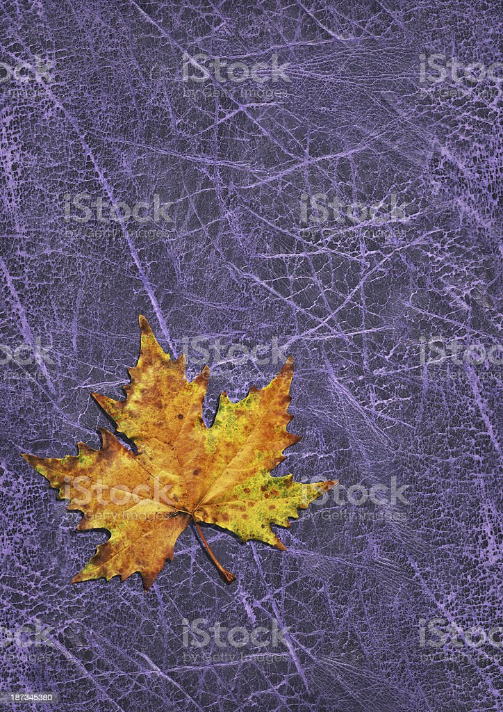 Autumn Dry Maple Leaf Isolated on Old Purple Wizened Cowhide royalty-free stock photo
